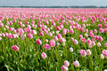 Pink tulips in spring alkmaar many om fields north holland Stock Image