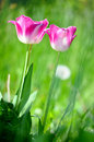 Pink tulips in a tulip field Royalty Free Stock Photo