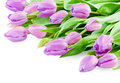 Pink tulips with water drops on white background Royalty Free Stock Photos