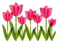 Pink tulips on white background border for your design Stock Photography