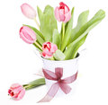 Pink tulips on white background in a bucket Stock Images