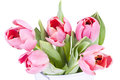 Pink tulips on white background close up Royalty Free Stock Images