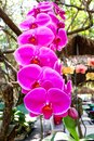 Pink vanda orchids bloom hanging on  tree in  nature  garden background Royalty Free Stock Photo