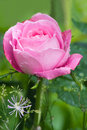 Pink and very fragrant rose Stock Photography