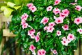 Pink Vinca Periwinkle Flowering Evergreen Ornamental Plant with flat five-petaled flowers and glossy green leaves, some contain