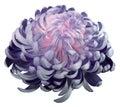 Flwero Pink-violet Chrysanthem...