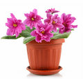 Pink violet with green leaves in pot Royalty Free Stock Photo