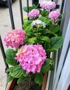 Pink, violet and white hydrangea flowers balcony view Royalty Free Stock Photo