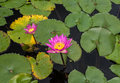 Pink water lilies in pond Royalty Free Stock Photo