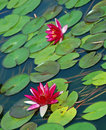 Pink Water Lillies Royalty Free Stock Images