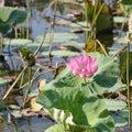Pink Water Lillies, Yellow River, Australia Royalty Free Stock Photo
