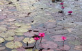 Pink water lillis Royalty Free Stock Photo