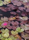 Pink water lilly with leaves Royalty Free Stock Photo