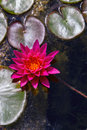 Pink water lily from above a beautiful grows among green pads Royalty Free Stock Images