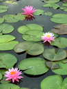 Pink water lily aquatic beautiful Stock Photo