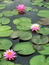 Pink water lily aquatic beautiful Stock Photo