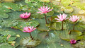 A pink water lily beautiful lotus flowers floating in the pond Stock Images