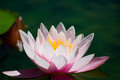 Pink water lily blossom Nymphaeaceae Royalty Free Stock Photo