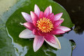Pink Water Lily Flower Macro Royalty Free Stock Photo