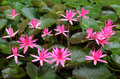 Pink water lily flowers blooming in a pond Stock Photo