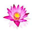 Pink water lily isolated  on white background Royalty Free Stock Photo