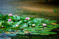 Pink water lily and leaf in pond Royalty Free Stock Images