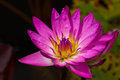 Pink water lily nymphaea odorata above lily pads floating pond early fall morning Stock Photos