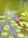 Pink Water Lily Plant With Gre...
