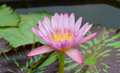 Pink water lily in pond Royalty Free Stock Photography