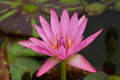 Pink water lily in pond Stock Photography