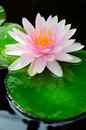 Pink water lily in the pool Royalty Free Stock Photo