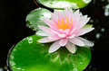 Pink water lily in the pool Royalty Free Stock Photography