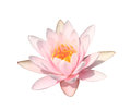 Pink water lily on white background pink lotus isolated with clipping path included Royalty Free Stock Images