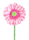 Pink watercolor gerbera on white background