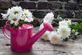 Pink watering can with white daisies on wooden table Royalty Free Stock Photo