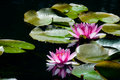 Pink Waterlillies and reflections in dark water. Royalty Free Stock Photo