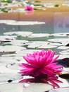 Pink waterlilly with reflection and lilly leaf