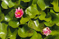Pink waterlily (Nymphaeaceae - Nymphaea alba) Royalty Free Stock Photos