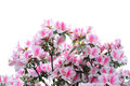 Pink and white azalea blooms Royalty Free Stock Photo