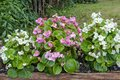 Pink and white begonia flower in a wooden log Stock Image