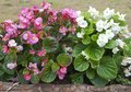 Pink and white begonia flower in a wooden log Royalty Free Stock Photo