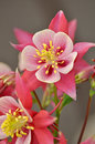 Pink and white columbine flower aquilegia chrysantha Royalty Free Stock Images