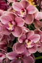 Close-up of pink Orchid flower Cymbidium isolated on white background