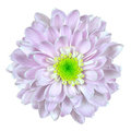 Pink and White Dahlia Flower Isolated on White Stock Images