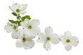 Rosa blanco flores
