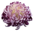 flower Pink-white chrysanthemum. Side view. Motley garden flower. white isolated background with clipping path no shadows. Cl Royalty Free Stock Photo