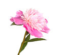Pink and white peony flower isolated Royalty Free Stock Photo