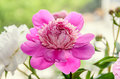 Pink and white peony flowers with bud, bokeh blur background