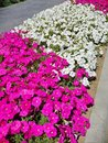 stock image of  Pink and white petunia flowers