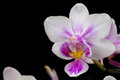 Pink and White Phalaenopsis Orchid Royalty Free Stock Image
